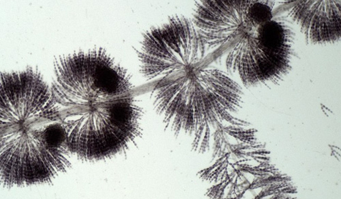 Magnified image of Sheathia, a soft-bodied red algae found in freshwater streams.