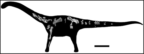 This image shows the pieces of the skeleton recovered of Rukwatitan bisepultus within a silhouette of the animal. The bar equals 1 meter. Image credit: Eric Gorscak, Ohio University.