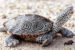 Photo of terrapin by Willem Roosenburg on Maryland.gov website