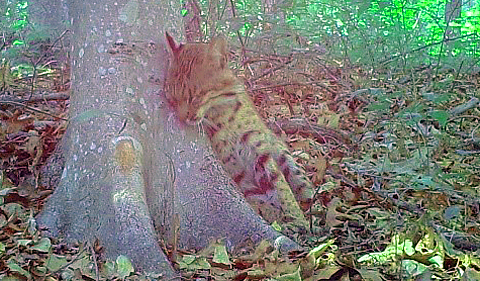 Ohio bobcat photo taken on June 19, 2016. The bobcat is leaning against a tree.