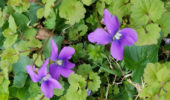Common Blue Violet growing on campus