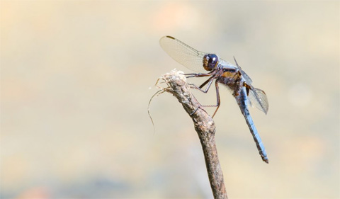Blue Corporal dragonfly on a stick. Photo Credit: Kyle Brooks