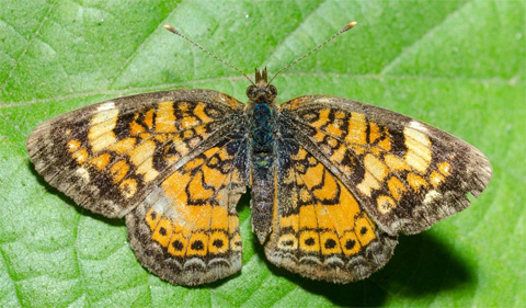 Pearl Crescent butterfly. Photo Credit: Kyle Brooks