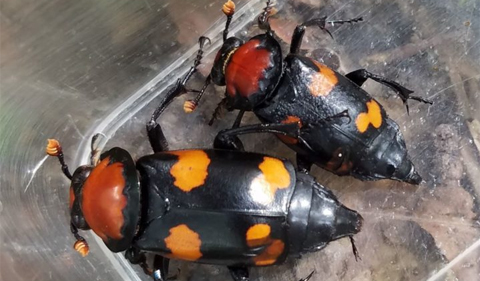 Breeding Pair of American Burying Beetles