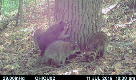 Family of raccoons investigating a tree that had been baited with skunk lure.
