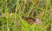 Monarch butterfly feeding on Asclepias incarnata, commonly known as swamp milkweed.