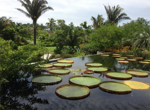Beau Water Lilies At Naples Botanical Garden