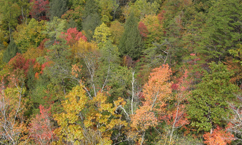 In the old-growth forest of the Watts Creek watershed in Blanton Forest, Kentucky, canopy oak and hemlock are legacies of regional and subcontinental scale dynamics from centuries ago. Photo by Neil Pederson.