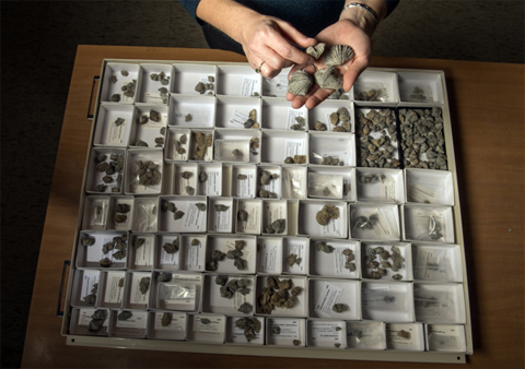 This drawer of geological speciments contains nearly 20 species of the Vinlandostrophia brachiopod in Cincinnatian rocks. Some of the specimens were collected by Stigall and her students, but most were donated by Cincinnati, Ohio, resident Jack Kallmeyer, who donated the collection to the university. (Photo by Ben Siegel.)
