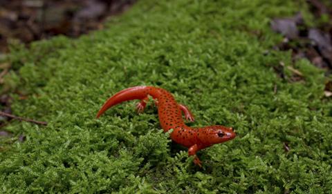 Lungless salamander. (Photo courtesy of Vincent Farallo.)
