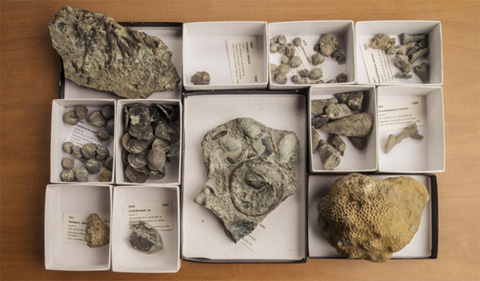 The Kallmeyer Collection of the Ohio University Invertebrate Paleontology Collections includes invasive species that dominated the ancient landscape of Cincinnati, Ohio. The invaders include brachiopods, gastropods, bivalves, and corals. (Photo by Ben Siegel.)