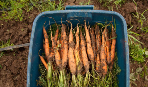 Photo of fresh-picked carrots in a blue bucket.
