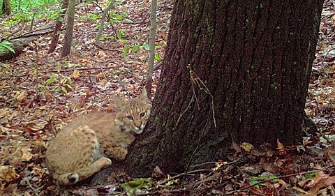 Photo of bobcat taken on May 21, 2016. Bobcat is sitting at the base of a tree.