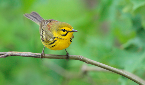 Yellow Prairie Warbler on a branch