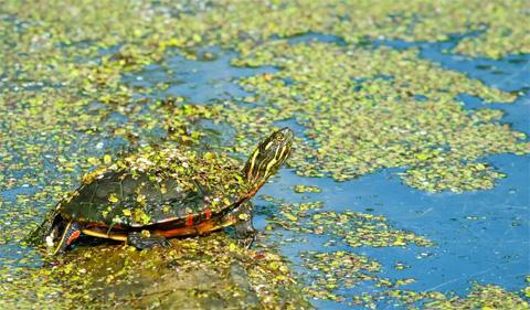 Painted Turtle. Photo Credit: Kyle Brooks