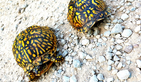Two box turtles in Wayne National Forest.