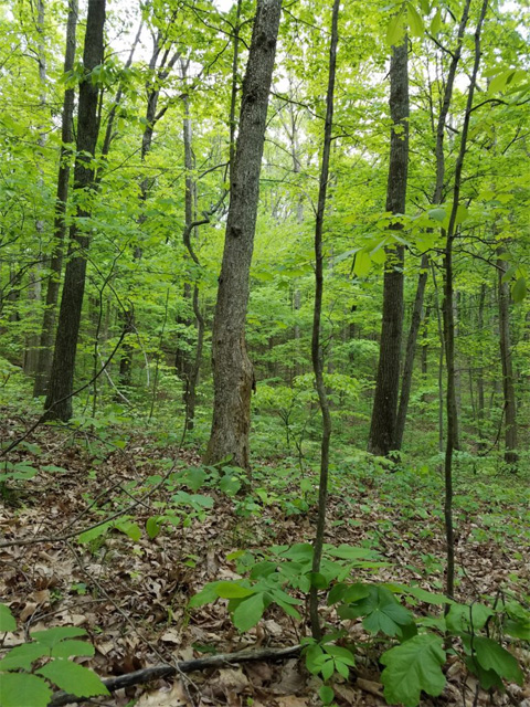 Wayne National Forest undergrowth