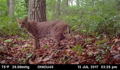 Bobcat caught on camera on July 13, 2017.