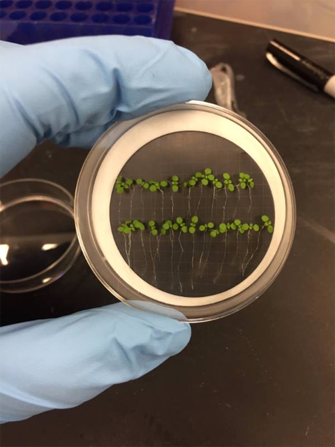 Seedlings like those that will grow in space. Petri dish wiht two rows of seedlings, held by hand wearing blue gloves