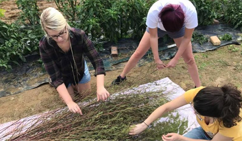 Students harvest chenopodium at the Plant Biology Learning Gardens, where Dr. Paul Patton is growing the ancient grain.