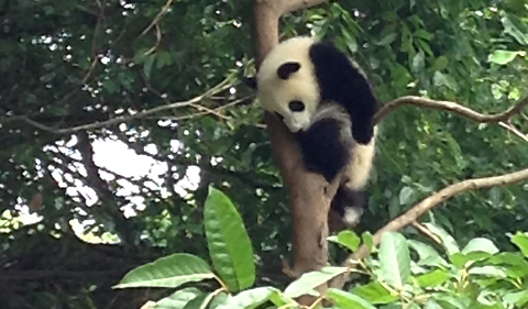 Panda in the tree canopy at the Chengdu Research Base of Giant Panda Breeding (Photo provided by Charlotte Elster)