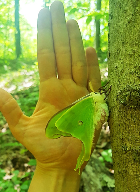 Luna moth next to hand.