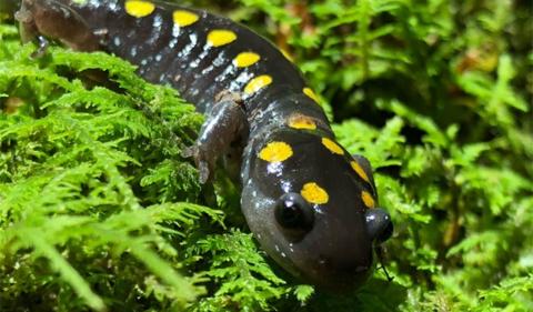 Spotted Salamanders.