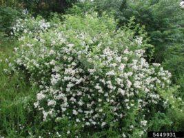 Working on the Wayne | Rosa Multiflora