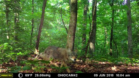 Coyote Captured near the proposed bike trail.