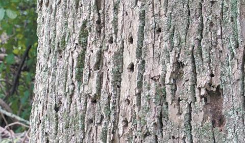 Tree showing Emerald ash borer damage