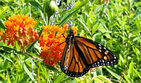 Monarch butterfly (Danaus plexippus) on butterfly weed (Asclepias tuberosa)