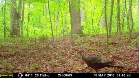 Eastern Wild Turkey.