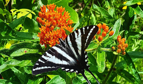 Zebra swallowtail (Eurytides marcellus) on butterfly weed