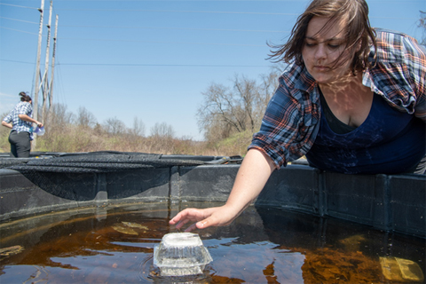 Biological Sciences Ph.D. student Cassandra Thompson checks experimental mesocosms. Thompson studies the synergies between climate change induced effects and predator exposure on wood frog larvae. (photo: Ben Siegel)