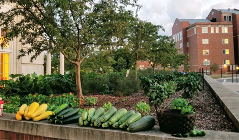 Harvest at the Baker Center Edible Garden--yellow and green squash, zucchini and more