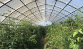 The high tunnel at the OHIO Student Farm.