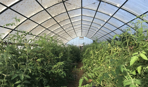 Tomatoes growing in the high tunnel at the Ohio Student Farm.