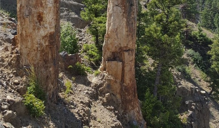 Fossilized trees on the specimen ridge trail in Yellowstone National Park.