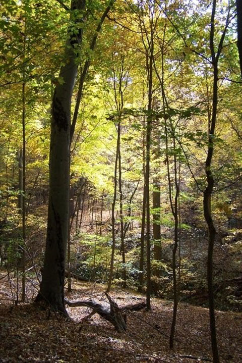 Dysart Woods in the fall, with yellows predominating
