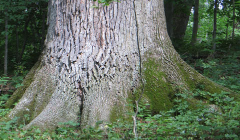Old-growth tree in Dysart Woods