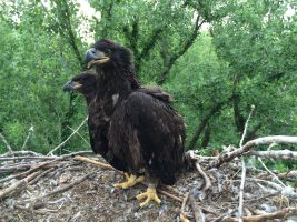Researchers monitor trends in PCB, DDE and mercury contamination in bald eagle nestlings in the upper Midwest
