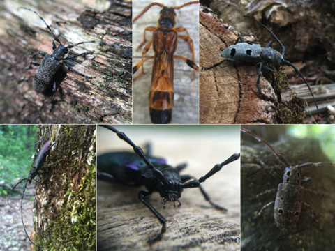 Long horned beetles captured in Romania top, left to right] Oplosia cinerea, Necydalis major, Morimus asper; (bottom, left to right) the Great Capricorn beetle - Cerambyx cerdo, Maple long horned beetle, Ropalopus insubricus, and Mesosa curculionoides