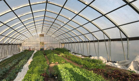 A variety of greens grow in the high tunnel at the OHIO Student Farm.