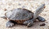 Terrapin photo by Willem Roosenburg in Maryland