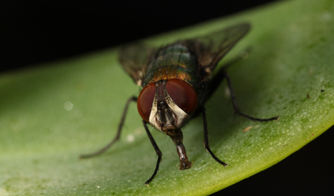 Flies have some of the most elaborate visual systems of all insects.