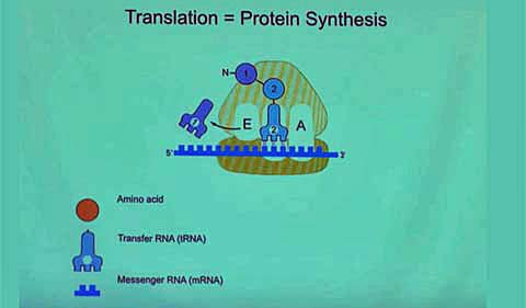 A screen shot from Dr. Ramakrishnan's talk at Athens, showing translation and protein synthesis