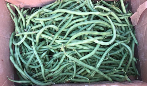 Freshly picked green beans in a box