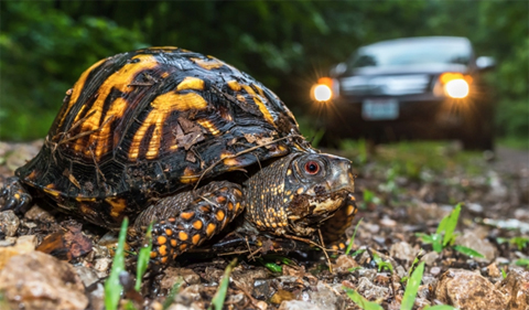 Box turtle crossing an unpaved road in Wayne National Forest (photo: Ryan Wagner)