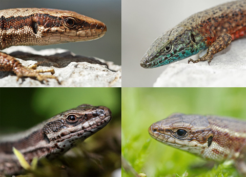 Four species of lizards from Slovenia included in the study. From top left to bottom right: the Velebit lizard (Iberolacerta horvathi), the Dalmatian Algyroides lizard (Algyroides nigropunctatus), the Common wall lizard (Podarcis muralis) and the Viviparous lizard (Zootoca vivipara).