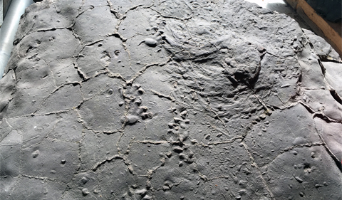 an impression of tracks and burrows in a slab of Permian sandstone